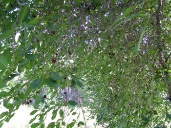 А ещё растёт вишня и черешня