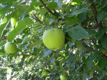 Таже в ограде растут сортов 5 яблок